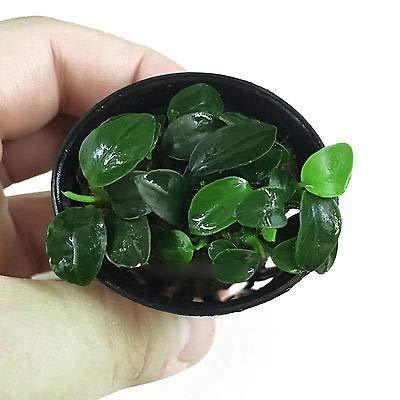 1 Potted of Anubias Petite. (Pot Size: 2 Inches) - Live Aquarium Freshwater Plan