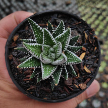 Two Live Plant Zebra Zebrina Exotic Haworthia Attenuata Succulent Cactus... - $80.00