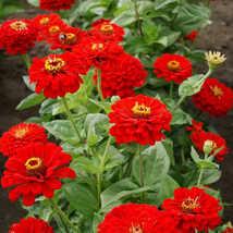 Zinnia Cherry Queen 100 Flower Seeds - $12.98