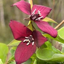Red Trillium 20 bulbs Wood Lily - $52.99