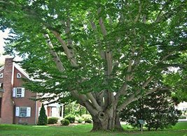 1 Bare Root of Trees American Beech Fagus Grandifolia Native Tree - $28.71