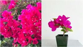 La Jolla Red Bougainvillea Mini Plant-2 inch pot - $55.99