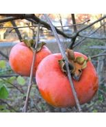 SHIPPED From US, LIMITED 2 GIANT FUYU PERSIMMON TREES 1 FT FLOWERING FRU... - $99.88