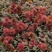 200 Seeds New Zealand Burrs Ground Cover Seeds (Acaena Microphylla) TkThesun - $33.66