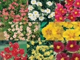 SHIP FROM US 30 Seeds Crimson Red Strawflower Helichrysum,DIY SB Flower ... - $27.99