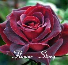 100Pcs Rose seed bonsai, indoor, garden decoration, distributed aroma ornamental - $7.00