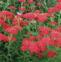 50 Pcs Seeds Red Alyssum Sweet Royal Flower - RK - $8.00