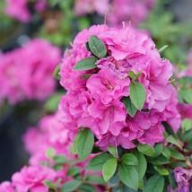 """4"""" Pot Double Purple Azalea Perfecto Mundo Rhododendron Proven Winners Live  - $58.00"""