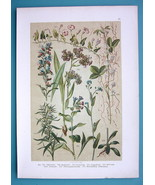 BOTANICAL PRINT 1896 Color Litho - Lungwort Bugloss Forget me Not Bindweed - $16.20