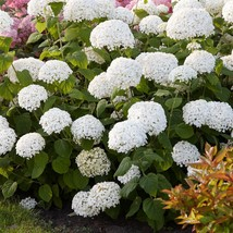 Live Plant - Incrediball Smooth Hydrangea - 2 Gall Pot - Outdoor Living - $130.99
