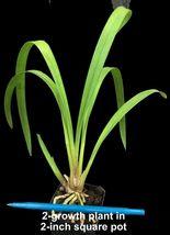 2 growth Cymbidium__PENNY'S WORTH__pendulous  - $29.98