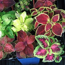 150 Seeds Coleus Seeds Rainbow Grimes Mix Flower Seeds - Outdoor Living - $49.99