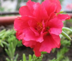 100 Pcs Seeds Moss Rose Portulaca Grandiflora Red Flower - DL - $16.00