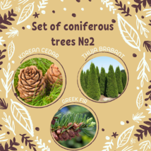 Set of coniferous trees seeds 2 / Korean cedar, Thuja Brabant, Greek fire - $9.90