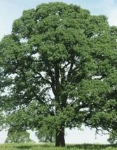 Oak Trees Diamond Swamp Laurel Quercus Laurifolia Saplings - live plant - tknole - $56.99+