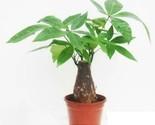 Good Luck Bonsai, Pachira Macrocarpa Single Caudex, Bareroot No Leaf - $48.51 CAD