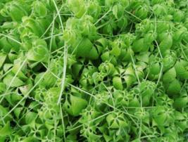 5 Pcs Seeds Southern Ginseng Vine Gymnostemma Pentaphyllum Tree - DL - $16.00