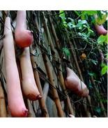 100Pcs Milk Breast Melon Plant Like Woman's Breast Bonsai Plant Seeds - $9.24