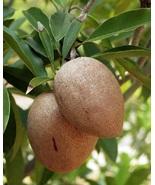 live plant- Sapote Manilkara Zapota Sapodilla Nispero Fruit tree medlar ... - $70.99