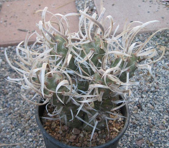 Tephrocactus articulatus v. papyracanthus Paper Spine Cactus 1 Section Only