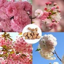 Japanische Sakura Samen Bonsai Mini Baum Samen Kirschblüten Garten Im ElR8 - $2.08