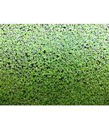500 Live Duckweed Plants (LEMNA Minor) - $14.00
