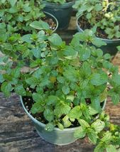 CHOCOLATE MINT WELL ROOTED LIVE PLANTS 5 TO 10 INCHES - $24.99