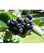 Plant Chokeberry - 'Viking' - Aronia melanocarpa (It's not seeds) - $27.29