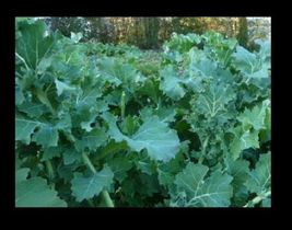 SHIP FROM US Kale, Dwarf Siberian Fresh Hand-Packaged Seeds - NON -GMO  ... - $4.50