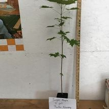 Sugar Maple  (Acer saccharum) image 4