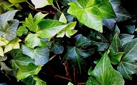 5 LIVE PLANTS ROOTED IVY VINES RUFFLED WAVY HEDERA HELIX HOUSEPLANT SOLI... - $39.99
