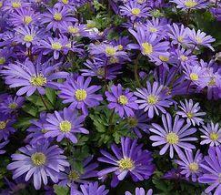 20 Bulbs - Anemone blanda Blue Shades - Ranunculaceae BX1G - $9.99