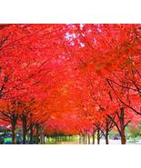 20pcs Very Exotic Japanese Red Maple Tree Seeds IMA1 - $13.99
