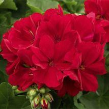 10 Red Geranium Seeds Perennial Flowers Seed Bright Flower Bloom - $7.68
