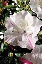 1 Starter Plant of Autumn Starlite Encore Azalea - 1 Gallon - $83.10