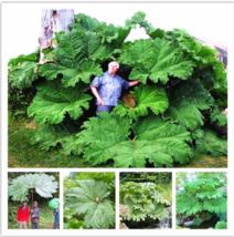 Gunnera Manicata plant Also Called Giant Rhubarb plant Grow In Partial-5... - €2,45 EUR