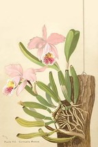 Cattleya Nossiae by H.G. Moon - Art Print - $19.99+