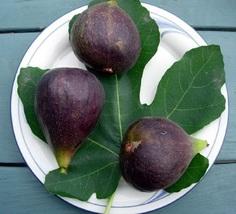 Live Plant Violette du Bordeaux Hardy Fig Figue de Violet Outdoor Living - $40.00