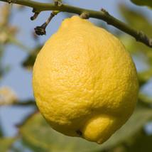 Potted Plant Ponderosa Lemon Tree - $62.39