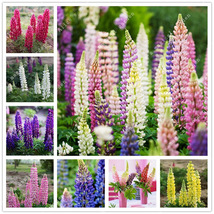 200pcs MIX Colorful Rainbow Lupin Seeds Lupine Perennial Flowers For Hom... - $4.92
