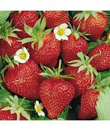 Garden Jewel Strawberry Plant - 1 Pack of 10 Roots/Plants- Produce Excel... - $12.99