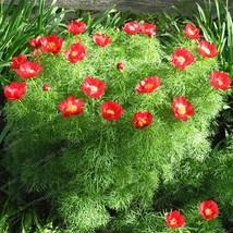 10 Pcs Paeonia Tenuifolia Seeds Fernleaf Peony Seeds Peony Flower Seeds ... - $4.85