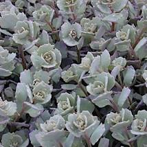 40 Sedum ' Lidakense ' - Live Plant - Perennial Ground Cover- Drought resistant - $126.42