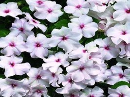 50 Seeds of Impatiens Sun And Shade Bright Eye - $16.83
