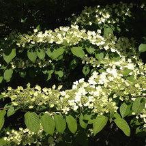 Japanese Snowball Viburnum Bush image 5