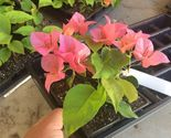 Plant bougainvillea    orange king   02 thumb155 crop