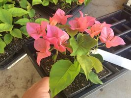 Plant Bougainvillea - 'Orange King'' (It's a Plant not seeds) - $26.25