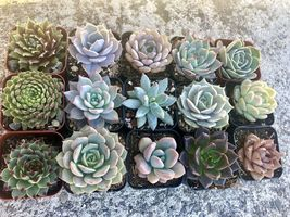 """Assorted Rooted Premium Rosette Succulents in 2"""" Planter Pots with Soil (Pack image 4"""