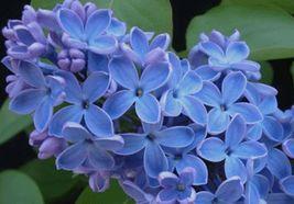 25 Blue Lilac Seeds Tree Fragrant Hardy Flower Perennial - $7.70