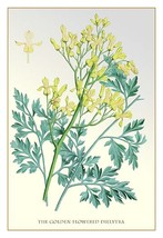 The Golden-Flowered Dielytra - Art Print - $19.99+